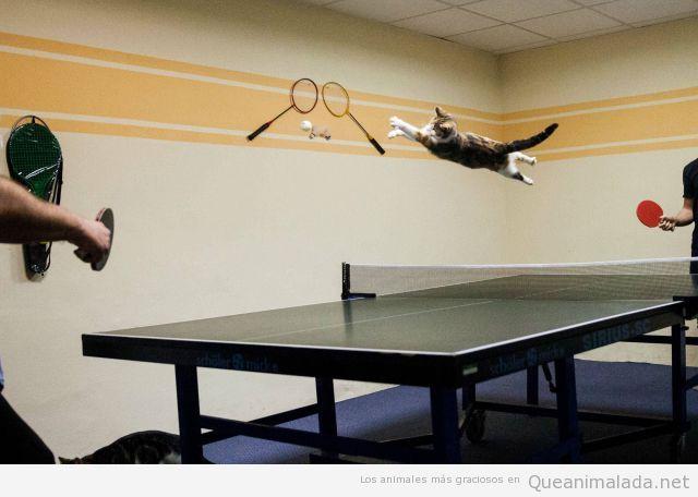 Foto divertida de un gato que salta para coger una pelota de ping pong