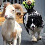 Sigue a esa cabra!