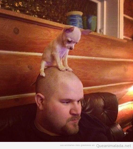 Chiuaua posado en la cabeza de su dueño