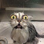 Gatos que se han intercambiado los ojos...
