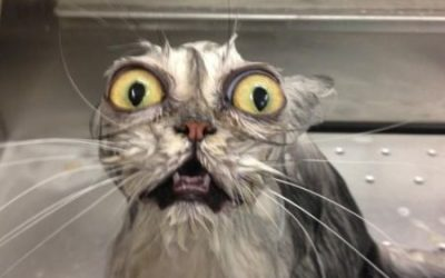 Gatos que se han intercambiado los ojos…