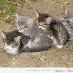 Cadena de gatos