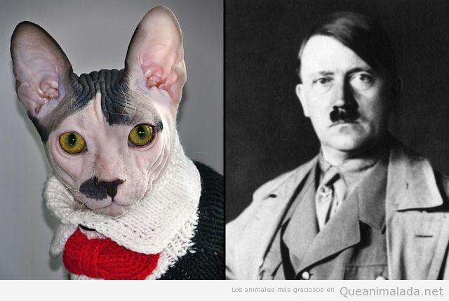 Gato raza Sphynx parecido razonable Hitler
