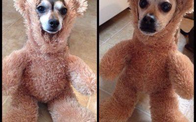 Pero por qué disfrazáis a vuestros perros de osos de peluche? Pobrecillos!