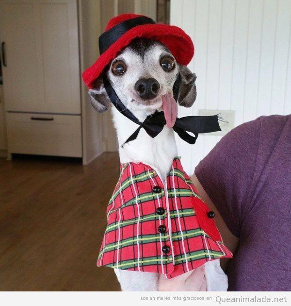 Foto graciosa perro Zappa lengua fuera 3