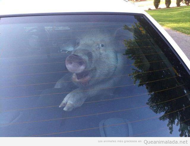 Fotos divertidas de un cerdo en un coche