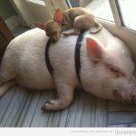 Este perro y este cerdo protagonizan la siesta del siglo