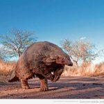 Animales raros: el pangolín africano