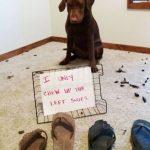 El perro que se siente culpable solo porque muerde los zapatos dl pie izquierdo