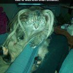 Igual a tu gato no le hace mucha gracia que le pongas extensiones de pelo…