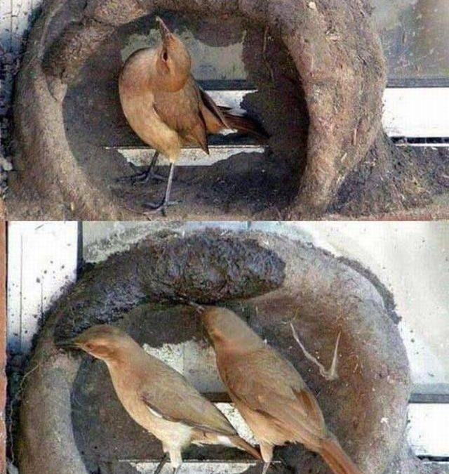 Así es como un pájaro construye un nido en una ventana, precioso proceso