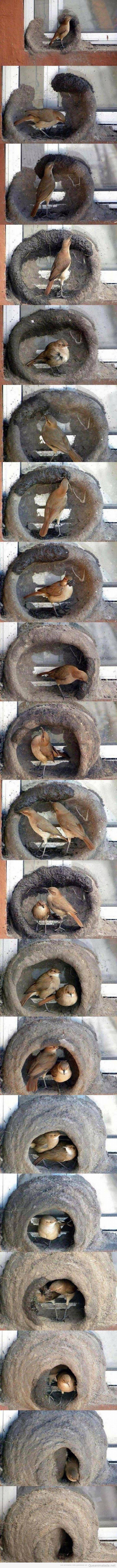 Fotos del proceso de construcción de un nido