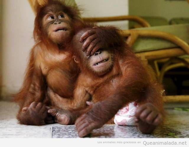 Foto graciosa y bonita de crías orangután