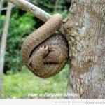 Así duermen los pangolines… qué cucos