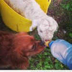 El perro celosón de la ovejita bebé…