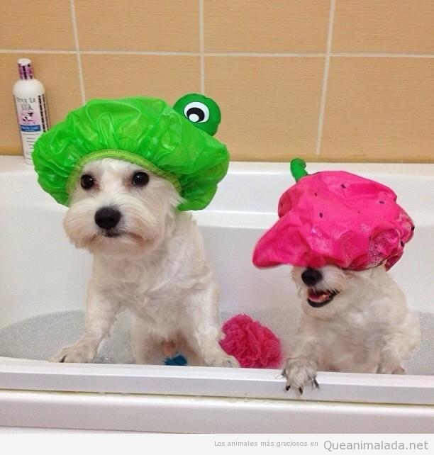 Foto bonita perros bichón maltés con gorros de ducha