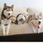 Una familia de huskies adoptan a un gatito y se integra perfectamente!