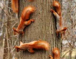 Un montón de ardillas subiendo por el tronco de un árbol, sin más!
