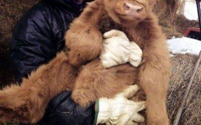 Felicidad es tener a un bebé de vaca de las Highlands en brazos!