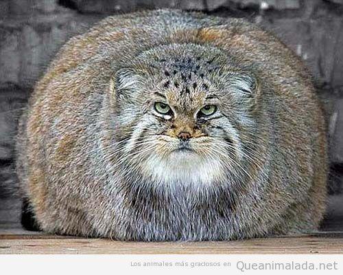 Fotos y memes graciosos de el gato montés 5