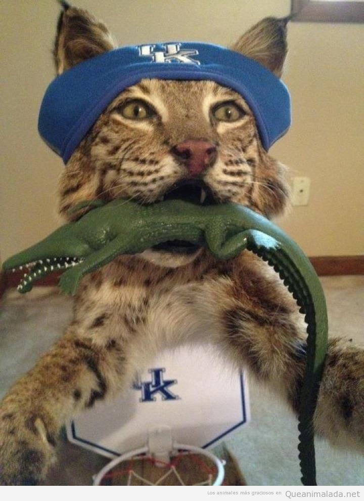 Fotos y memes graciosos de el gato montés