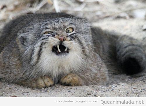 Fotos y memes graciosos de el gato montés 3