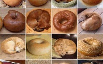 Juega al Chihuahua o muffin y al Cachorro o Bagle!