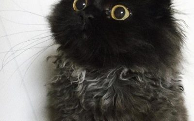 El gato con los ojos más adorables y tiernos del mundo