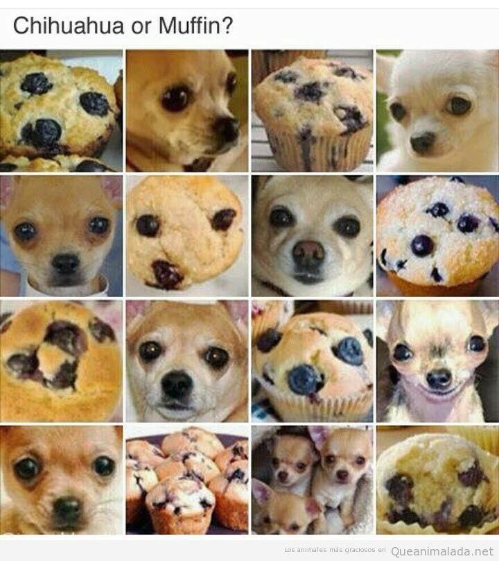 Juego divertido Chihuahua o Muffin