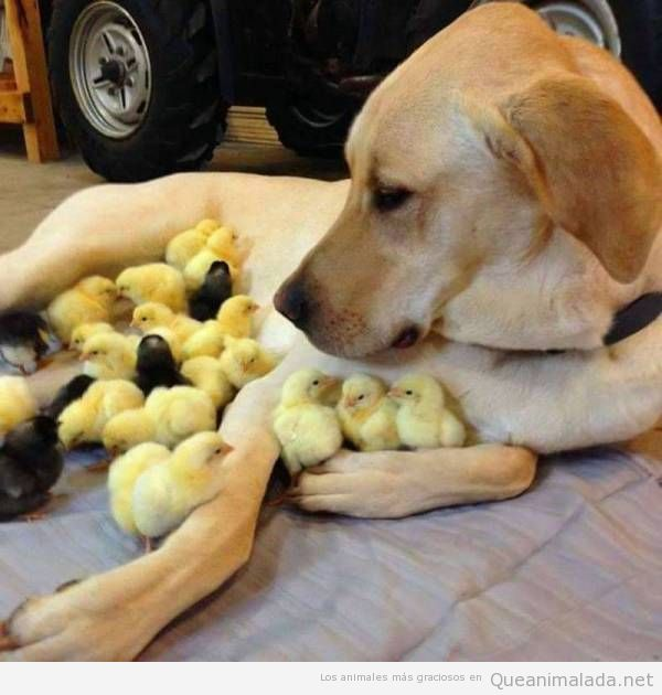 Foto bonita perro o perra con manada de patitos