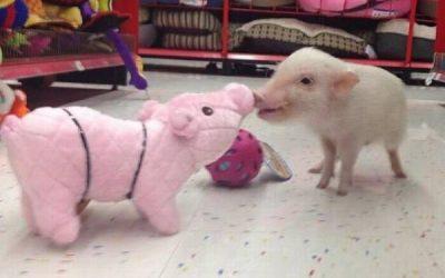 Cuando un cerdo bebé se encuentra con un peluche igualito que él…