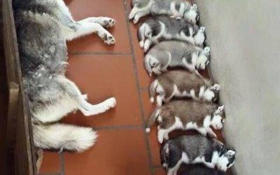 Escalera de color hecha con cachorros de husky