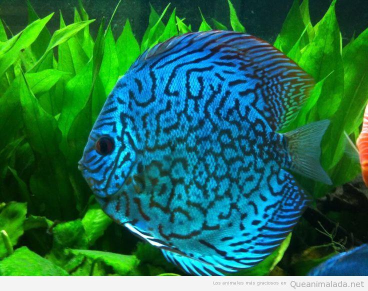¿Por qué los peces disco están tan de moda?