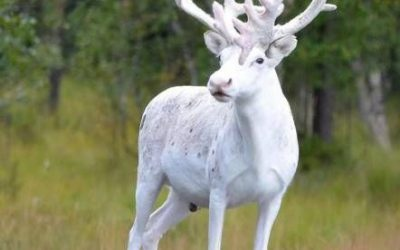 Hay cosas bonitas en la naturaleza… y luego está un ciervo albino