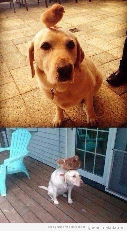 Foto graciosa pollito en la cabeza de un perro, años después