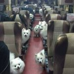 Un autobús lleno de perros… quiero viajar en él!