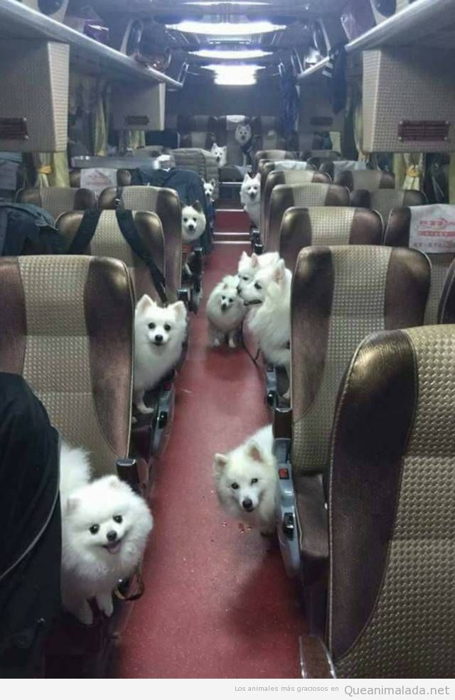 Autobús lleno de perros raza samoyedo