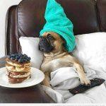 Lo que le gusta a este Carlino desayunar en la cama…