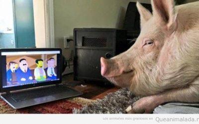 Lo que le gusta a este cerdo ver Los Simpson!