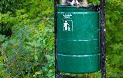 El mapache reciclador que se esconde dentro de la papelera