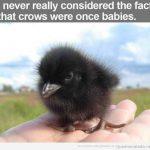 Habías visto alguna vez a un cuervo bebé?