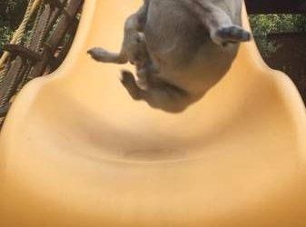 La cara de flipe de un carlino tirándose por un tobogán