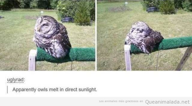 La lechuza que se derrite al sol