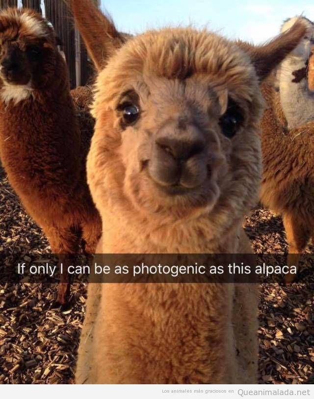 Foto graciosa del animal llama muy fotogénico
