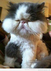 Picadura abeja gato en la cara