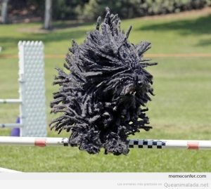Foto graciosa perro Komondor negro