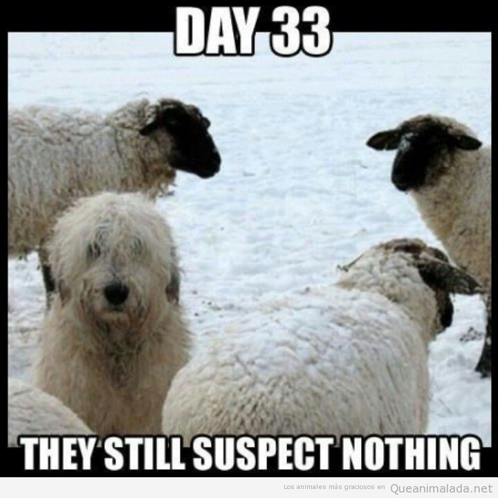 Meme gracioso perro pastor camuflado