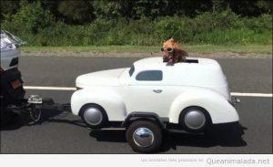 Foto graciosa de un perro en un coche en el remolque