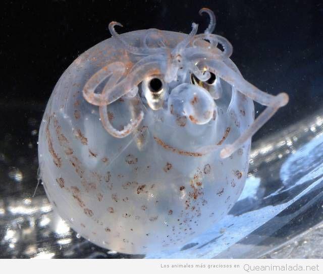 Animales raros calamar cerdo