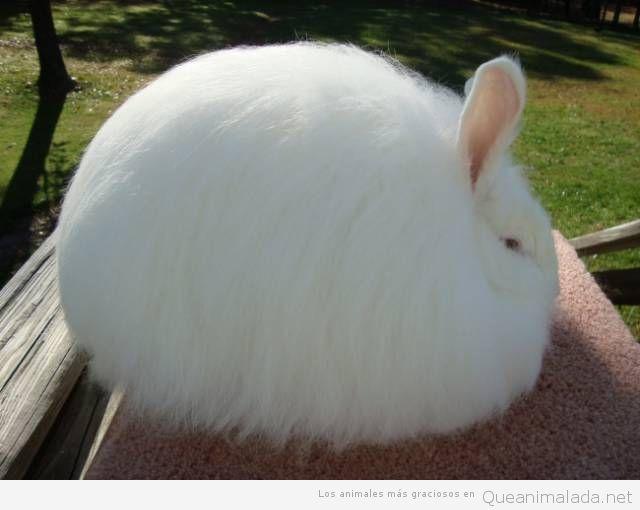 Animales raros, el conejo de angora